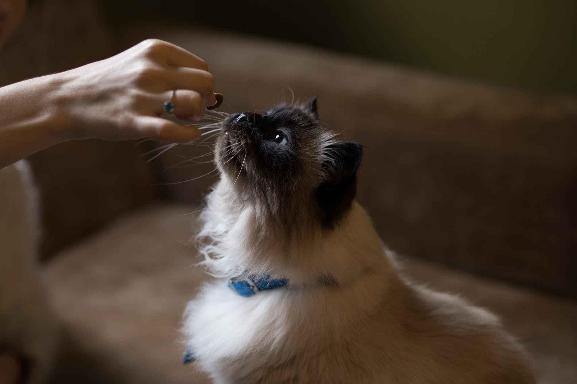 cara memanggil kucing dengan memberi hadia