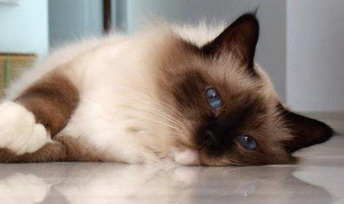 cara merawat kucing birman