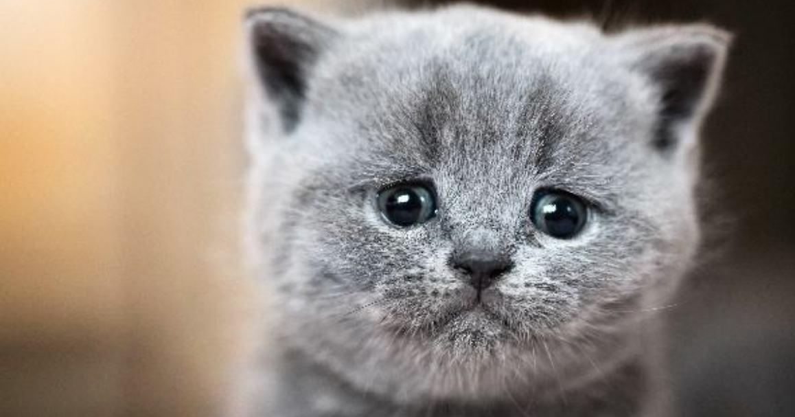 fakta kucing menangis