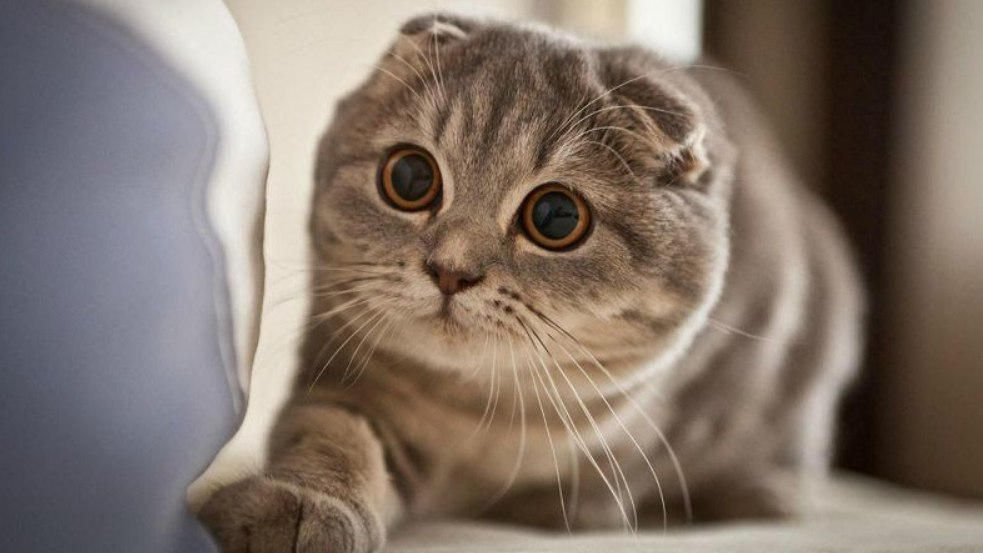gambar Kucing Telinga Lipat Skotlandia