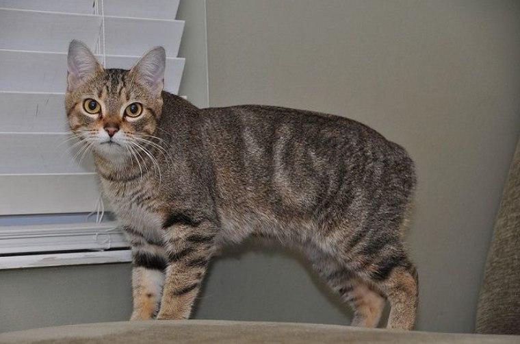 gambar kucing manx