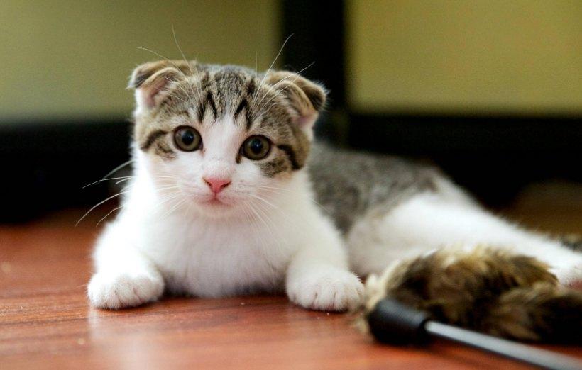 5 Jenis Kucing Terlucu Di Dunia Dengan Gambar