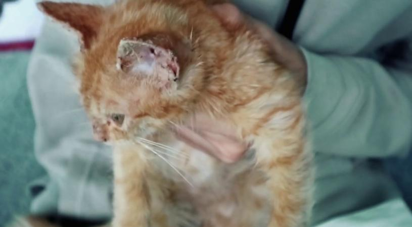 penyakit kulit kucing Scabies