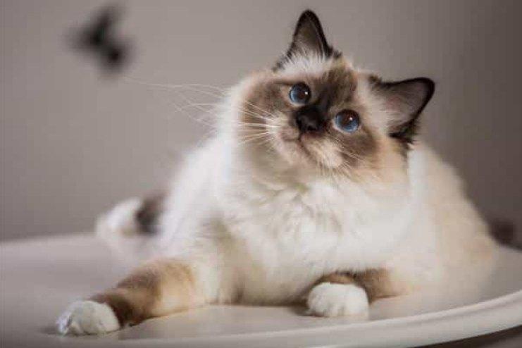 sejarah Kucing Birman