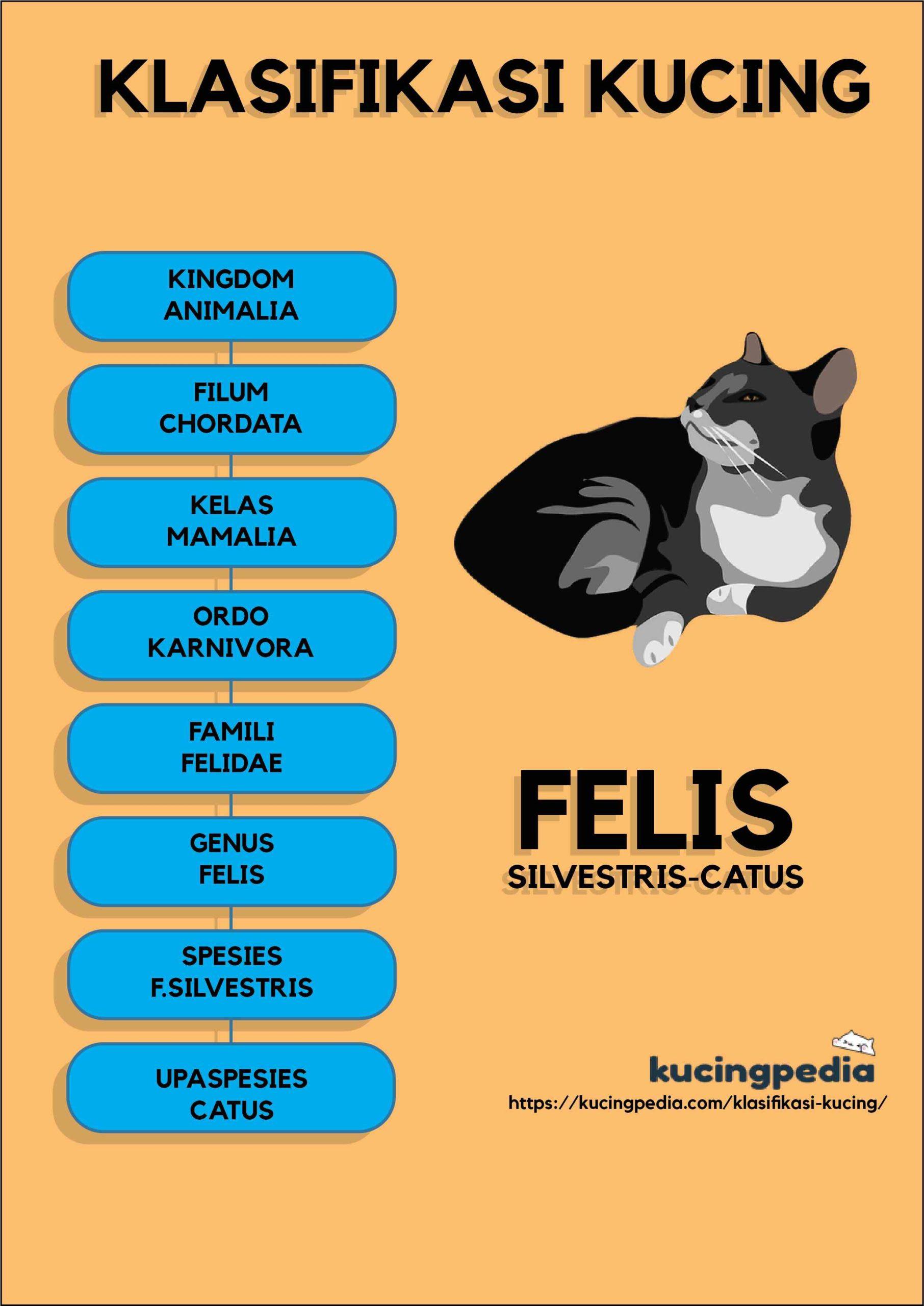 infografis klasifikasi kucing via kucingpedia