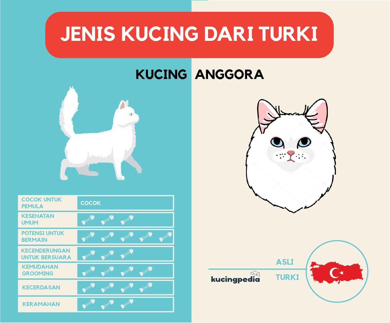 infografis kucing anggora